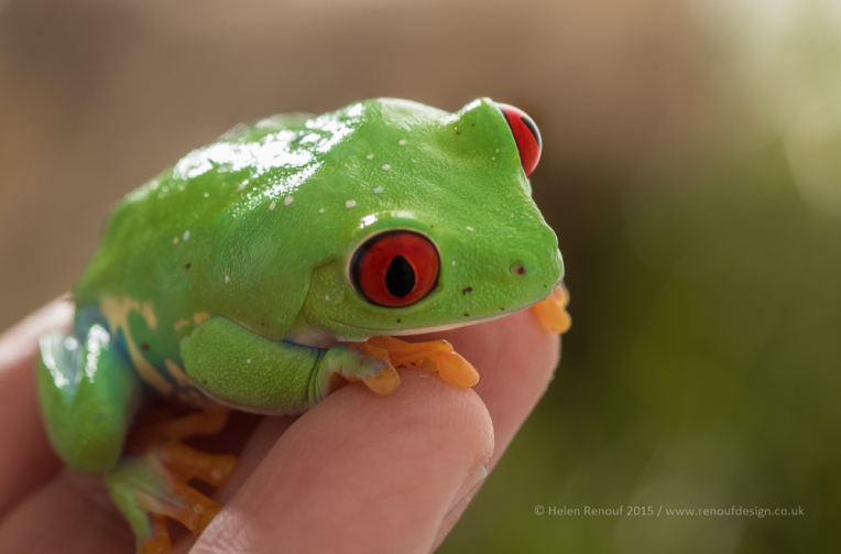 Tree frog on my hand - ISO250, F6.3, 1/200sec